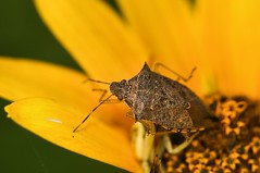 2015 Spined Soldier Bug (Podisus maculiveentris) (DrLensCap) Tags: chicago bird robert butterfly bug insect point soldier illinois il montrose kramer sanctuary podisus spined maculiveentris