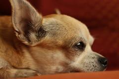 Dreaming Chihuahua (Radim Klimek) Tags: orange chihuahua cute eyes little ears dreaming sleepy thinking paws civava