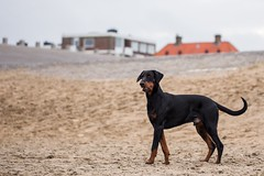 Doberman (nataliesiebers) Tags: travel dog holland beach netherlands europe adventure explore domestic northsea document doberman