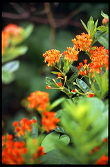 Asclepias (Voxphoto) Tags: provia nativeplant butterflyweed shallowfocus asclepiastuberosa olympusom2n