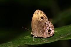 Mycalesis maianeas (moloch05) Tags: malaysia taman negara