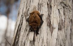 Evening bat (Nycticeius humeralis) in Everglades National Park (Don Filipiak) Tags: sleeping detail fur nikon florida bat everglades cypress evergladesnationalpark roost fledermaus dwarfcypress eveningbat nycticeiushumeralis nikonwildlife nikon28300mm rainforestdon nikond750