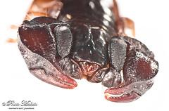 Euscorpius italicus (the Italian Scorpion) close (Tonci.M ) Tags: stilllife closeup head nobody scorpion particular whitebackground poison frontview arachnida venom oneanimal lowangleview euscorpiusitalicus euscorpidae fieldstudioset