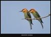 Chestnut-Headed Bee-eater (Masudur Rahman Mamoon) Tags: birds wildlife wildlifephotography chestnutheadedbeeeater