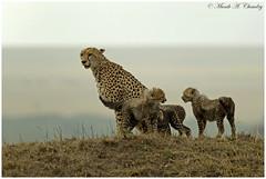 Mamma & Her Cubs (MAC's Wild Pixels) Tags: kenya ngc npc cheetah wildcats cheetahcubs wildafrica cheetahfamily fabuleuse femalecheetah maasaimaragamereserve macswildpixels mammahercubs