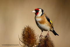 Goldfinch (ABPhotosUK (Thanks for 600 followers)) Tags: birds animals canon wildlife goldfinch lincolnshire finches nocrop wildlifephotographyhides eos7dmarkii