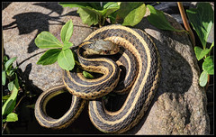 Primary Tuesday in Missouri (ioensis) Tags: sun garter saint st rock garden louis march reptile snake missouri tuesday webster primary warming groves 2016 jdl ioensis 50690675067tmf1bjohnlangholz2016