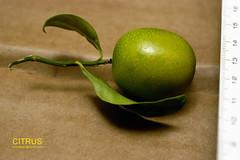 LaranjinhaDSC6818 (costapppr) Tags: laranjinha citrusjaponica