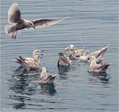 two seagulls, a fish scrap, and an audience. (marneejill) Tags: seagulls canada creek swimming french bc gulls group flight diving midair noisy hovering