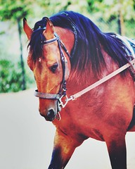 The #beauty of #indian #horse is always #admirable. (Captured by Bachi) Tags: horse beautiful beauty happy indian indianhorse horselover admirable jaimal beautifulhorse astoundingimage lovinghorse