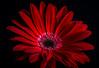Gerbera is one of my favorite (Olof Virdhall) Tags: red flower studio gerbera golddragon platinumheartaward