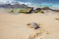 Hawaiian Monk Seal (Peter Stahl Photography) Tags: seal monkseal hawaiianmonkseal