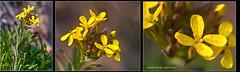 Alyssoides utriculata Blasenschötchen (Karl Hauser) Tags: flowers flower schweiz flora pflanzen wildflowers wallis alyssoides dofstacking follateres alyssoidesutriculata kniebiskarle