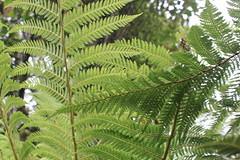 Fern Tree, Rotorua (sharaont) Tags: newzealand rotorua ferntree tepuia