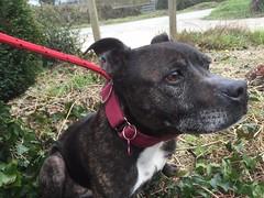 Seren Bach (MerlinAnimalRescue) Tags: rescue dog animal wales north bull terrier merlin staffie staffordshire sbt