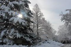 Metasequoia in the snow. (ironypoisoning) Tags: snow boston chinesenewyear metasequoia mountauburncemetery mountauburn dawnredwood