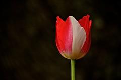 Red & White Tulip (deanrr) Tags: flower petals spring bokeh alabama bloom virus tulipmania 2016 morgancountyalabama