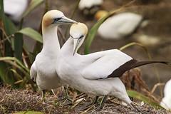 Affection (fantommst) Tags: newzealand two love beach birds wildlife pair preening grooming auckland nz nuzzle colony flax nesting gannet muriwai morus canoneos7dmarkii sigma50500mmf4563 lisaridings fantommst