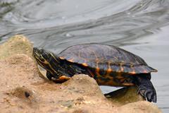 Franklin, the Tortoise (Michael Eickelmann) Tags: water animals tiere wasser turtle wildlife tortoise shell sandbar sandbank panzer schildkrte tierwelt