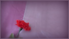 0243 v2 Flower on a pillow (Andy - Busyyyyyyyyy) Tags: flower artificial pillow ccc rrr minimalism vignette aaa ppp picasaedit redcarnation focalzoom 20160419