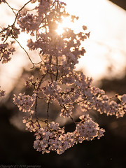 Sakura bright (gemapozo) Tags: park japan cherry tokyo ueno pentax blossom jp 桜 日本 sakura 夕景 uenopark さくら 東京都 上野公園 台東区 645z smcpentaxfa645300mmf56edif コマツオトメ komatsuotome