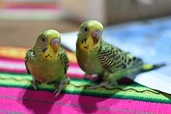 New Born!!! (MartinFM) Tags: catas aves colores verdes pequeos periquitos domsticas catitas australianos nacidos cras