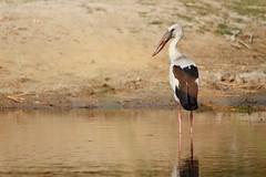 Asian openbill stork (Anastomus oscitans) (mihir_dhandha) Tags: birdsanctuary asianopenbillstork birdphotography nalsarovar migratorybirds canonkitlens anastomusoscitans canoneos7d canon55250mm