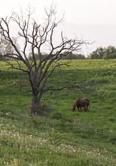 Grazing in the Grass (SteveFrazierPhotography.com) Tags: ranch summer horse usa green field grass rural countryside illinois scenery country may scene farmland deadtree pasture colchester dandelionseeds mcdonoughcounty canoneos60d stevefrazierphotography