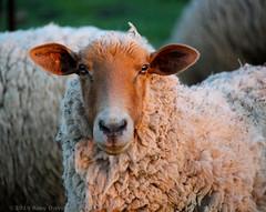 I herd you loud and clear (Amy ::) Tags: eyes flock ears fleece herd dutchesscounty route9d stonykillfarm