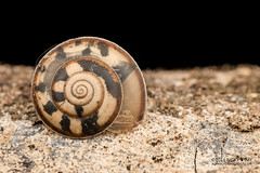 Snail shell - DSC_8147 (nickybay) Tags: macro shell snail basin malaysia sabah gastropoda maliau maliaubasin