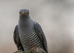 Cuckoo (Neil Higginson (@NeilsPhotos)) Tags: bird wings headshots cuckoo wildlifephotograpy birdperfect