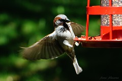 House Sparrow (Male) (--Anne--) Tags: nature flying inflight bokeh wildlife birdfeeder sparrow sparrows housesparrow