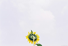 2014-07-27 13-59-00 (yoonski21) Tags: nikon asia korea sunflower kr fm2 한국 대한민국 고창 해바라기 gochang 전라북도 학원농장 고창군 yoonskiwithfm2 yoonski yoonskikorea 윤스키 yoonskigochang
