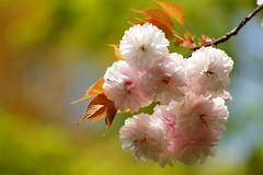 /Prunus Verecunda'Antiqua' (nobuflickr) Tags: flower nature japan botanical kyoto the  garden  prunusverecundaantiqua 20160416dsc07266