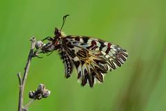 D71_6045A (vkalivoda) Tags: macro nature butterfly insect bokeh depthoffield serene makro schmetterling motl southernfestoon zerynthiapolyxena osterluzeifalter pestrokdlecpodracov pestrokdlec pestrovlkovcovov medlneckkopce
