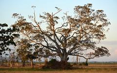 Moreton Bay Fig (dustaway) Tags: sunset fig australia ficus nsw australianlandscape moraceae northernrivers australiantrees oaklandroad richmondvalley eastcoraki