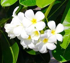 Jasmin (ape_regina) Tags: flowers thailand frangipane plumeria