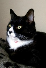 There is a neighbour Cat 'disagreement' going on outside. Max watches on passively, sensible chap!  (KT-wu) Tags: blackandwhite cute monochrome beautiful cat watching kitty whiskers tuxedocat blackandwhitecat watchful