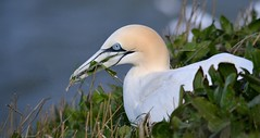 GANNET NEST BUILDING By Angela Wilson (angelawilson2222) Tags: gull yorkshire coastal seabird nesting gannet rspb bempton