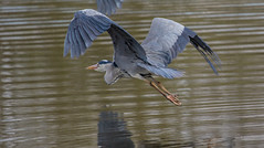 Heron Flying (worlknut) Tags: heron canon grey flash 7d mk2 pennington bif