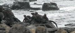 Taking some UV rays (SamSpade...) Tags: sea marina galapagos iguana 583 3670 amblyrhynchuscristatus 090718