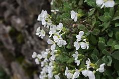 Arabis Alpina Snowcap (Blue sky and countryside.) Tags: park flowers england stone wall spring pentax district derbyshire alpina peak dry national arabis snowcap milldale