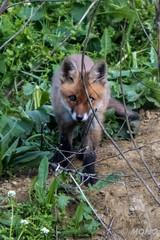 FoxSBahn-0049.jpg (mono-foto) Tags: wien tiere fuchs säugetiere