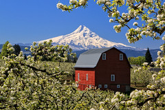 Mt. Hood and Fruit Orchards, II (louelke - gone until June) Tags: fruit oregon orchard mthood redbarn hoodriver blooming appleorchard pearorchard