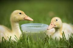 Peck & Peep (Francine Schumpert) Tags: pets animals ducklings cuteness springtime nikond810 peckpeep