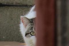 IMG_0327 (pcolmena) Tags: gris gato comiendo rubio micho