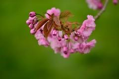 cherry blossom # 2 (__sam) Tags: flowers paris de cherry japanese spring cloudy blossom april sceaux pard 2016
