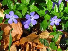 Immergrn (Vinca) (warata) Tags: italien italy alps italia laub pflanze alpen blume blte sdtirol altoadige southtirol vinca dolomiten 2016 wildblumen immergrn wildpflanze