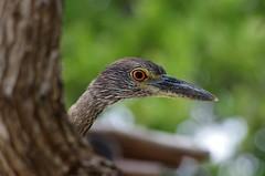 Curiosità (Cuba) (MaxLne) Tags: birds cuba airon