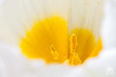 Egg flower (andrea.prave) Tags: extensiontubes flowers flower fiore flor fleur blume    pollen polline polen    pistils pistilli pistilos     white bianco yellow giallo closeup davicino natura nature egg uovo